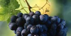 Suco de Uva é o Elixir da Longevidade no RS